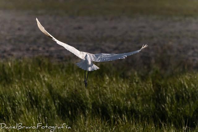 Pájaro llamado Espátula común iniciando el vuelo, se ve al pájaro de espaldas