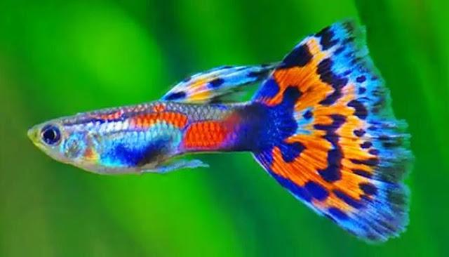 Unduh 90 Gambar Ikan Hias Guppy HD Gratis