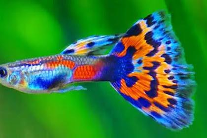 13 Jenis Ikan Guppy Lokal dan Impor Lengkap Beserta Gambar