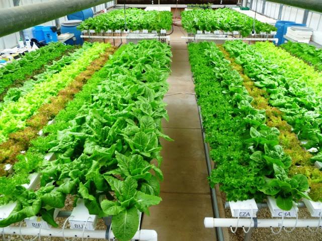 Pengertian Sayuran Hidroponik
