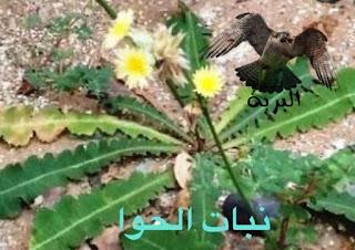 نبات الحوا
