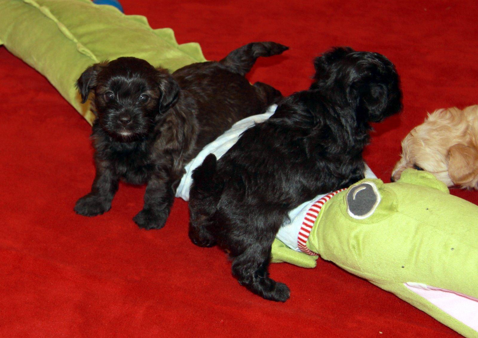 Havaneser Welpen in verschiedenen Farben VDH Hundewelpen