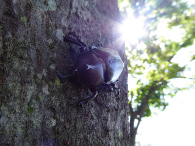 寝屋川公園のカブトムシ