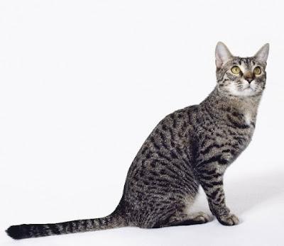 Kucing California Spangled