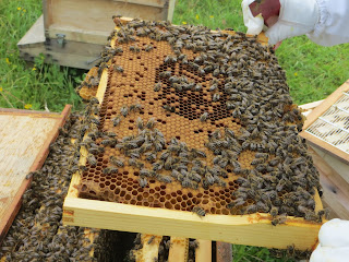 capped brood, eggs, larvae, grubs