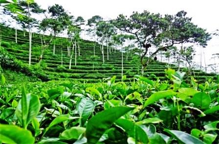 Wisata Kebun Teh Nglinggo Yogyakarta