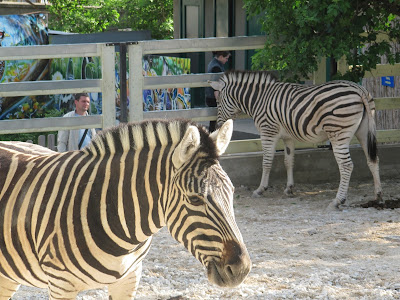 zebră zoo Chișinău