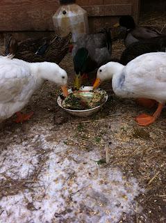 A treat a day keeps the bordom away  timbercreekfarmer.com