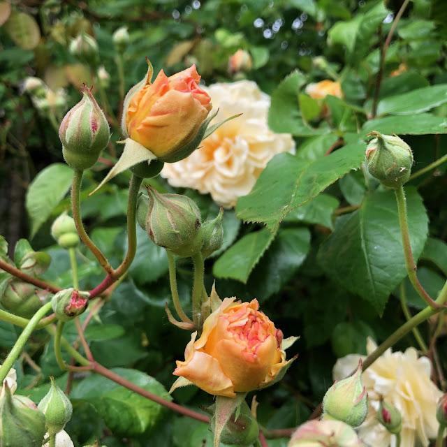 classic English roses
