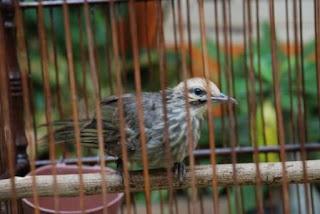 Burung Cucak Rowo - Mengetahui Kelas Suara Terendah Burung Cucak Rowo - Penangkaran Burung Cucak Rowo
