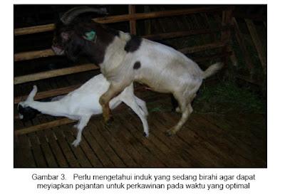 kambing atau domba setelah birahi lalu melakukan proses perkawinan