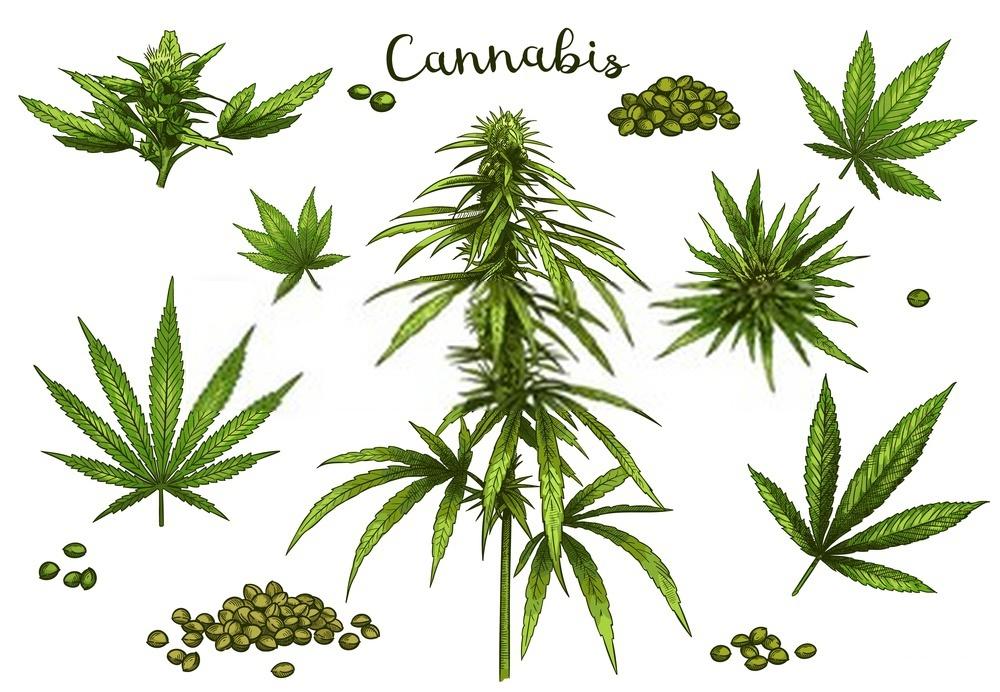 Why should Marijuana be legalized?