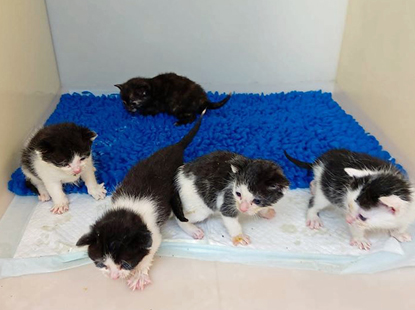 four black-and-white kittens and one tortoiseshell kittens in a cat pen