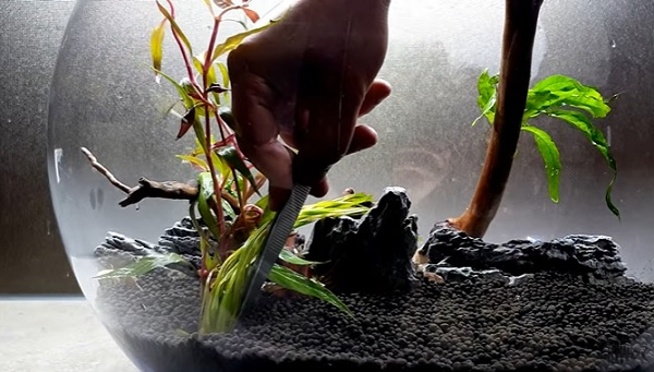 Planting Vallisneria