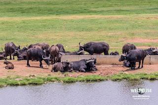 Afrikanische Büffel oder Kaffernbüffel entspannen sich an einer Wasserstelle im Krüger Nationalpark, Südafrika. Safari WELTREISE