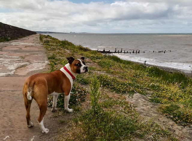 Photo of Ruby checking that I'm following her along the coast path at Maryport