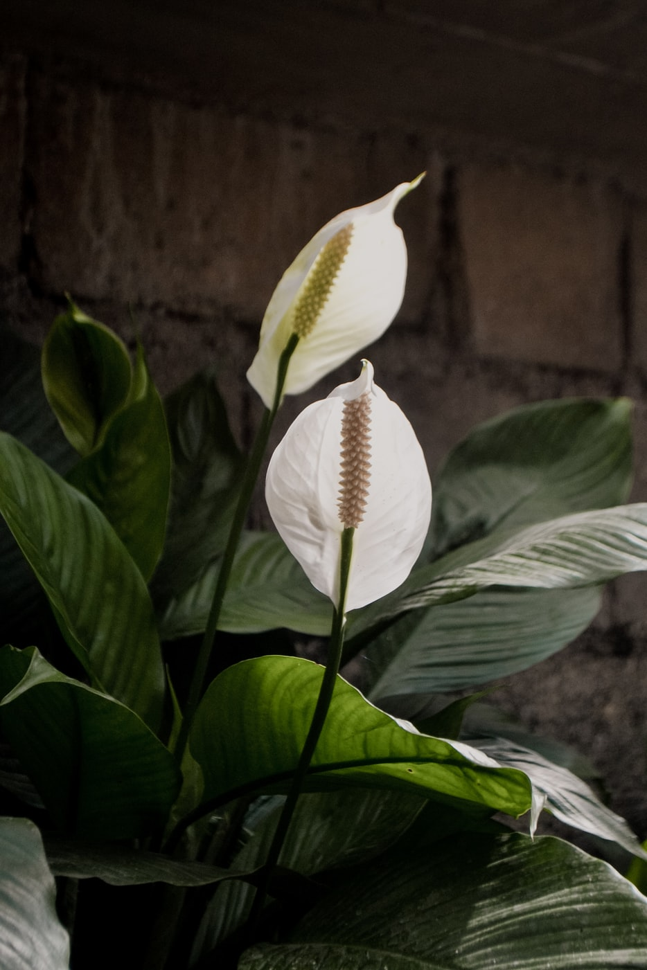 Stock photo of a peace lily plant