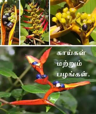Heliconia-fruit
