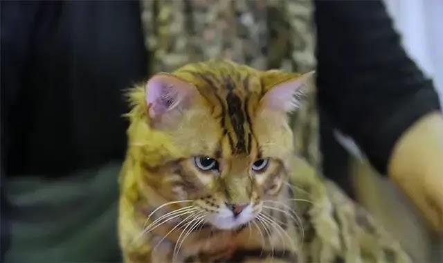 Les chats Bengal sont-ils sujets à certains problèmes de comportement?