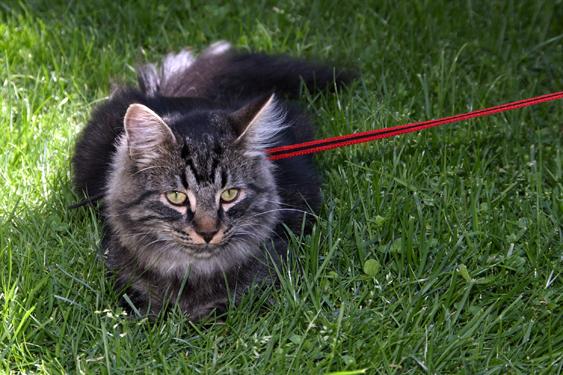 Pörröinen ruskea kissa ihmettelee nurmikolla, kissalla on valjaat ja punainen hihna.