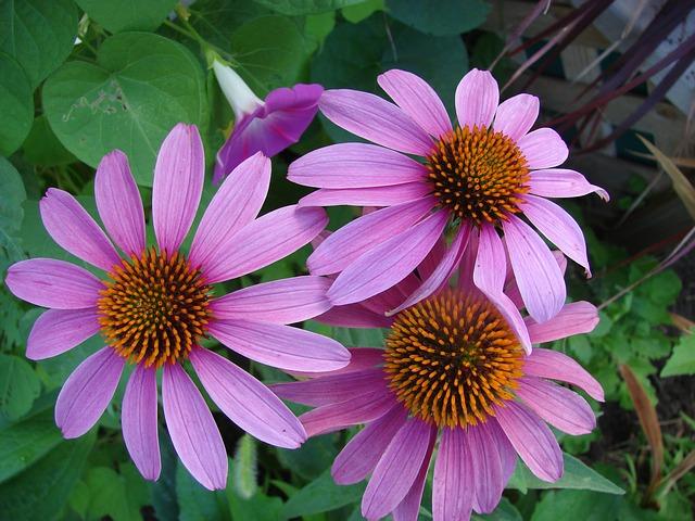 Ehinacea - Lekovitost, upotreba, neželjeni efekti i doziranje