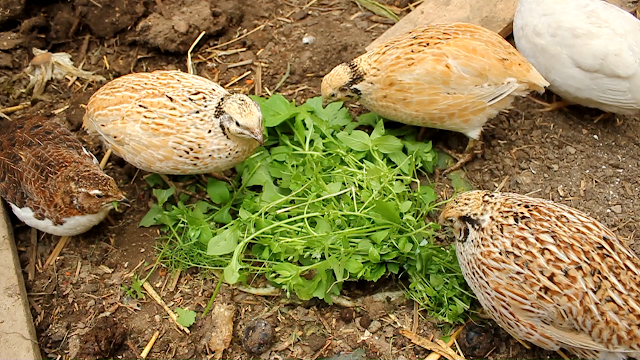 A group of organic coturnix quail eating chickweed