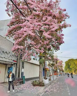 bibit-tabebuya-sakura.jpg