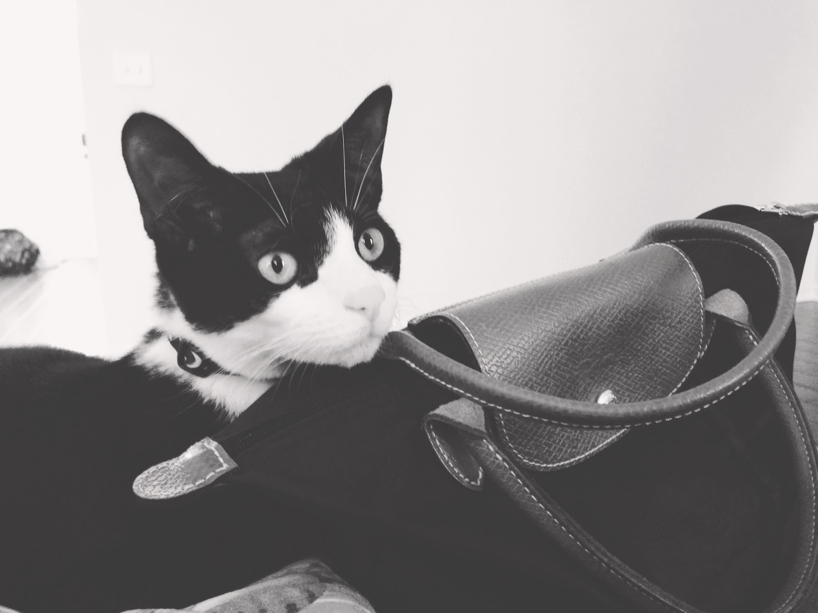 wedge (cat) posing by longchamp mini 'le pliage' handbag