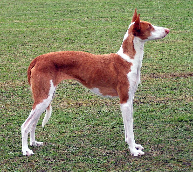 Ibizan-Hound-dog