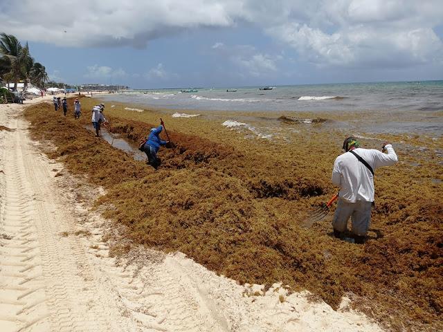 Actualizan lineamientos técnicos para la atención integral del sargazo en el caribe mexicano y Golfo de México