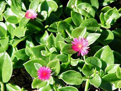 Cultivo da Rosinha de sol - Aptenia cordifolia