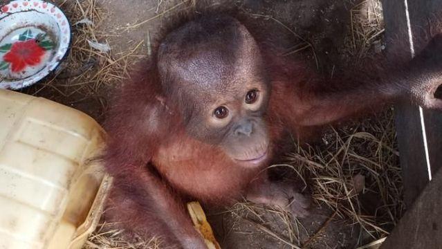 Warga Serahkan Bayi Orangutan Kepada BKSDA Kaltim