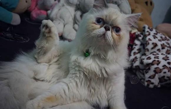 Daftar Harga Kucing Persia Peaknose Asli