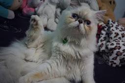 Harga Kucing Persia Terbaru 2019 ( Medium, dibawah 500rb, Pesek, Himalaya, Putih Dll )