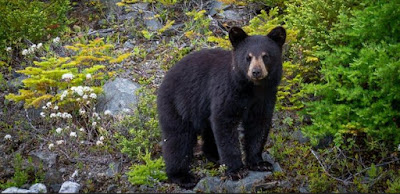Q 6. If you encounter a black bear you should retreat calmly and slowly wave your arms.