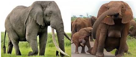 Mengenal Kerekteristik dan Perilaku Gajah