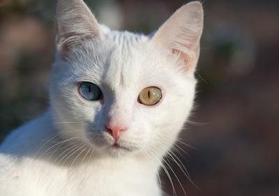 Sejarah Ras Kucing Russian White