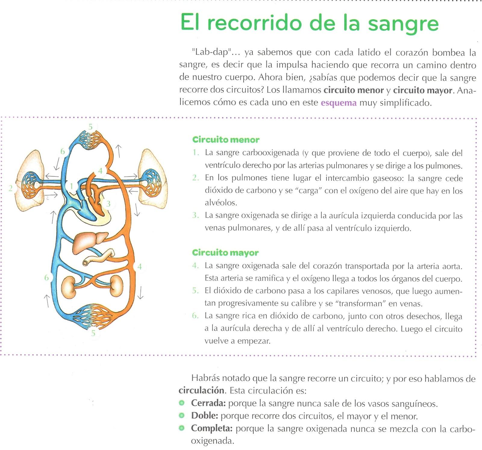 Circuito Mayor : Yesicanaturales5to.blogspot.com: sistema circulatorio