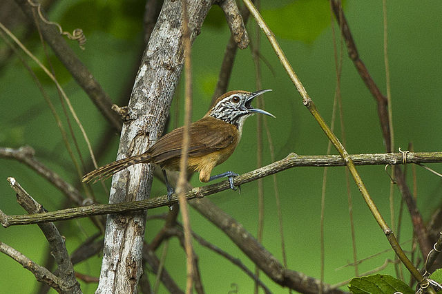 Specified Complexities in Bird Songs | Evolutionary Truth by