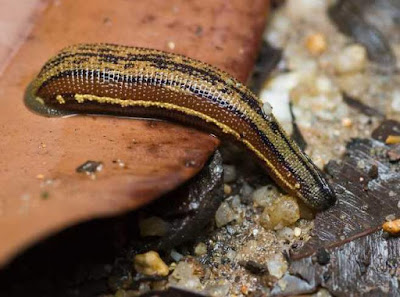 Leech - Animals That Start With L