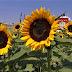 Las semillas de girasoles son ricas en vitaminas, minerales y fibras