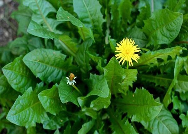 Benefits of dandelion for the heart, liver and blood