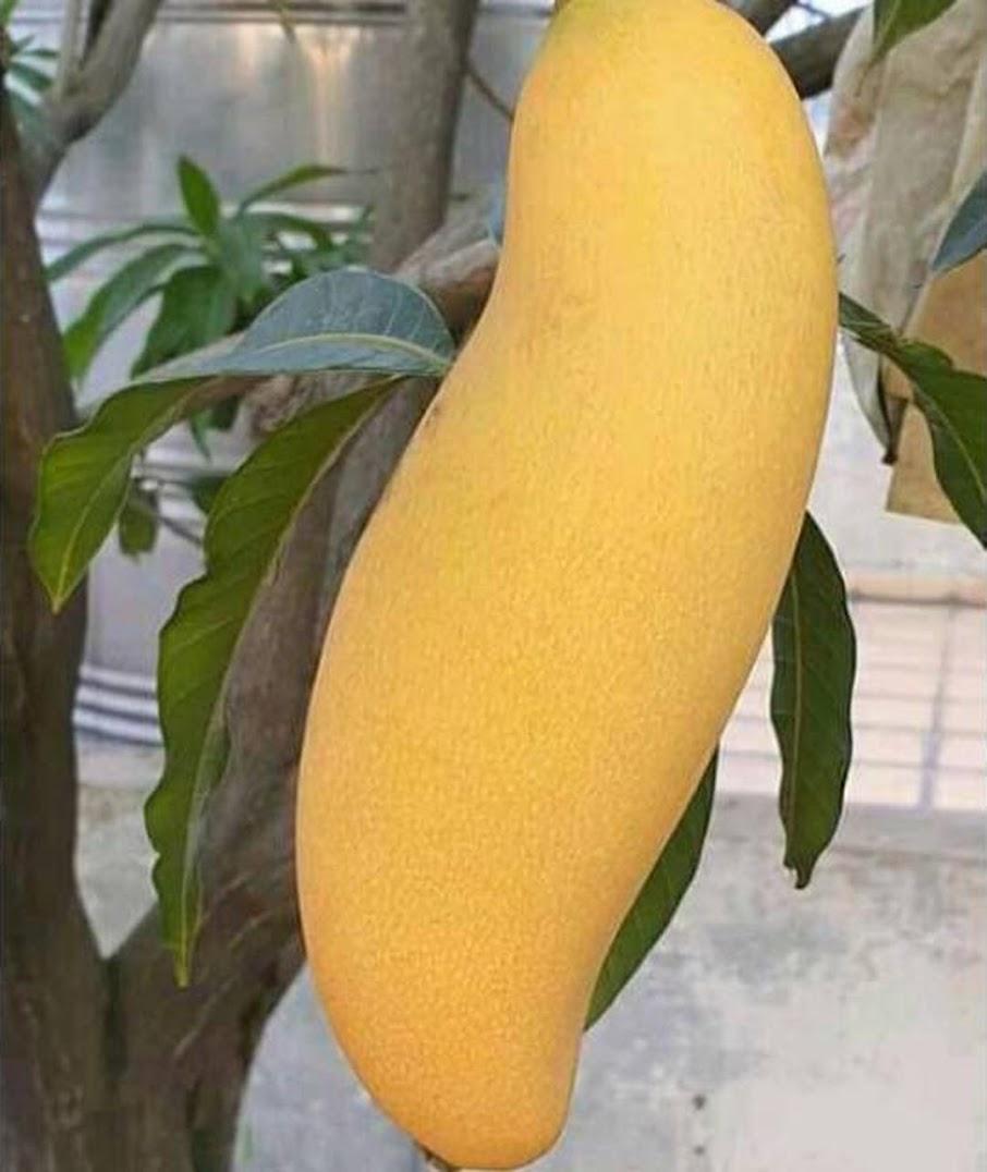 Bibit Mangga Banana bisa cod Sumatra Barat