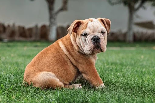 The difference between French bulldog and American bulldog and English