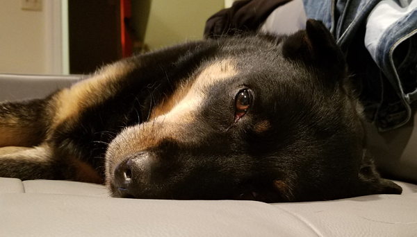image of Zelda the Black and Tan Mutt lying on the couch, looking at me sleepily