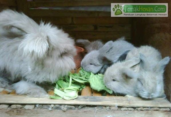 5 Cara Mengetahui Ciri Kelinci Yang Bagus DIjadikan Indukan Ternak Bisnis Rabbit Farm