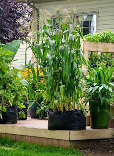 Πως να καλλιεργήσουμε καλαμπόκι σε γλάστρα