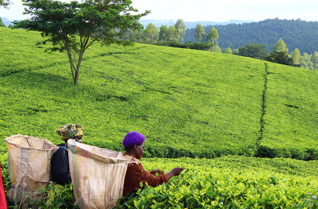 Tea picking at Satemwa Tea Estate, South Malawi