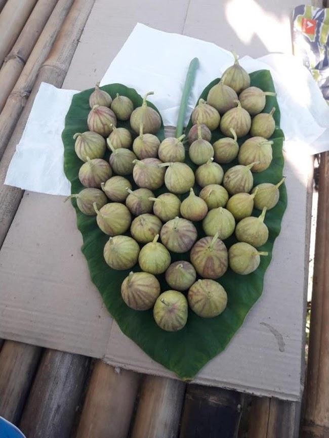 bibit buah tin ara fresh cangkok jenis LDA Jawa Barat