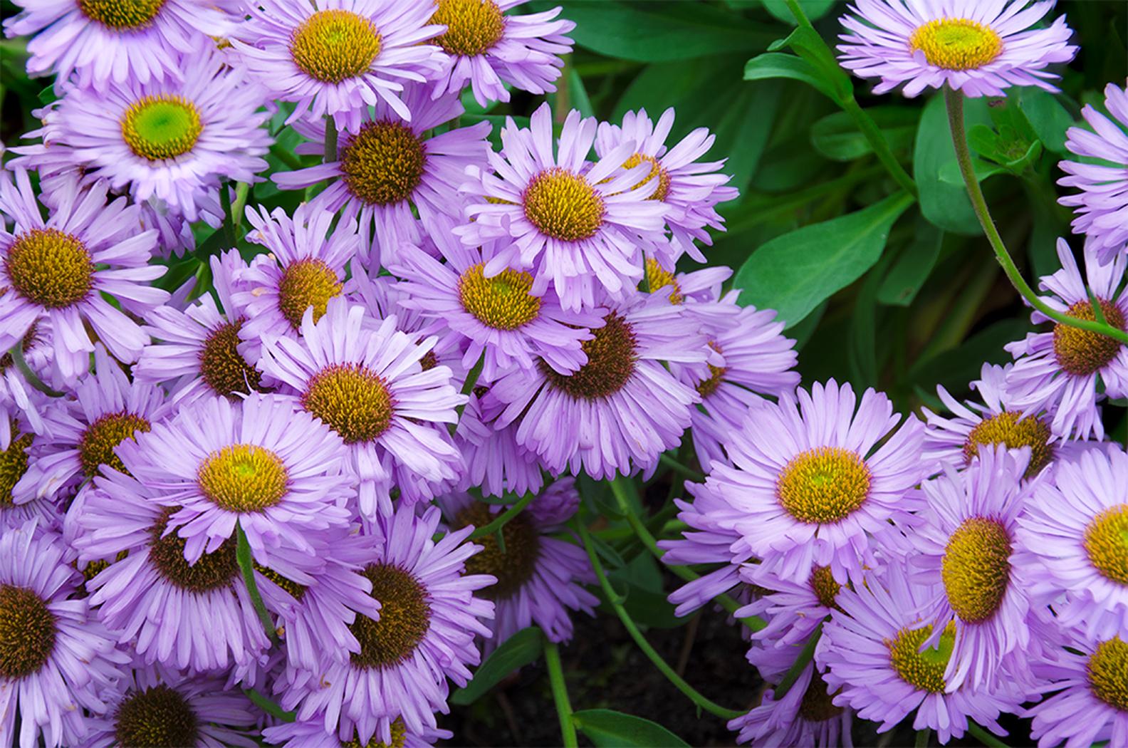 Linda cochran s garden erigeron glaucus wayne roderick quot